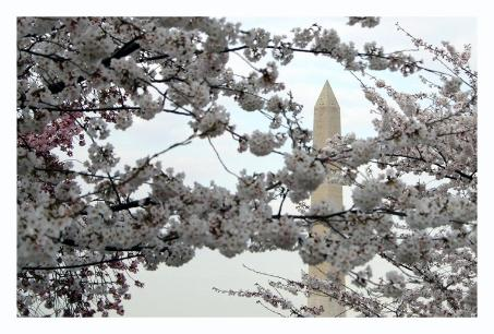 Washingtonmonument through the blossoms.