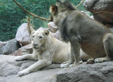 These two lions are brothers, but one is genetically a white lion...  not albino, just white.